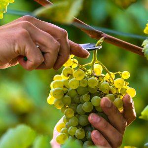 Wijn Drenthe Ruinen nederlandse wijn dutch wine