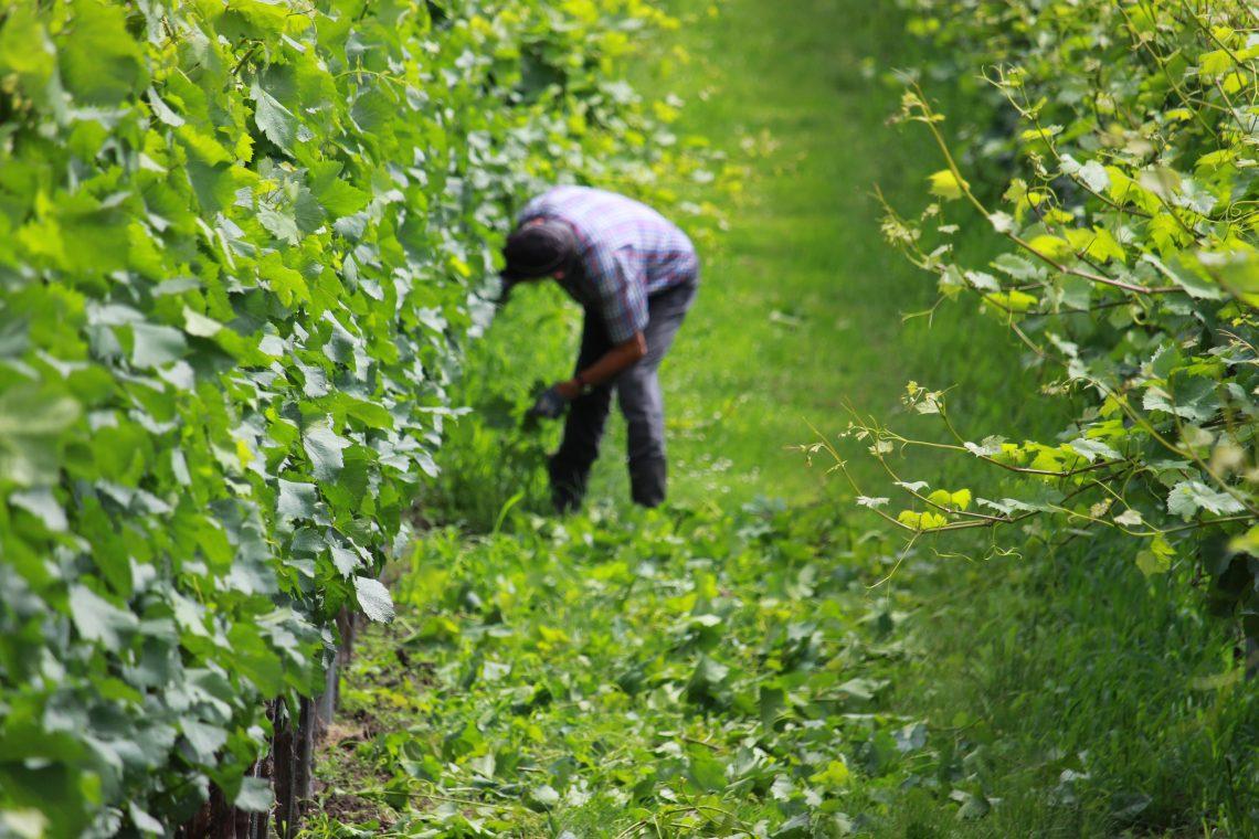 Ontbladeren wijngaard