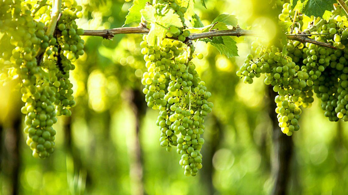 Druivenrassen Nederlandse wijn