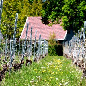 Overijsselse wijn Overijssel