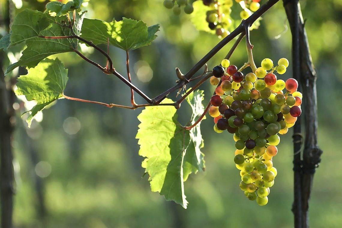 Trosdunning smaak wijn