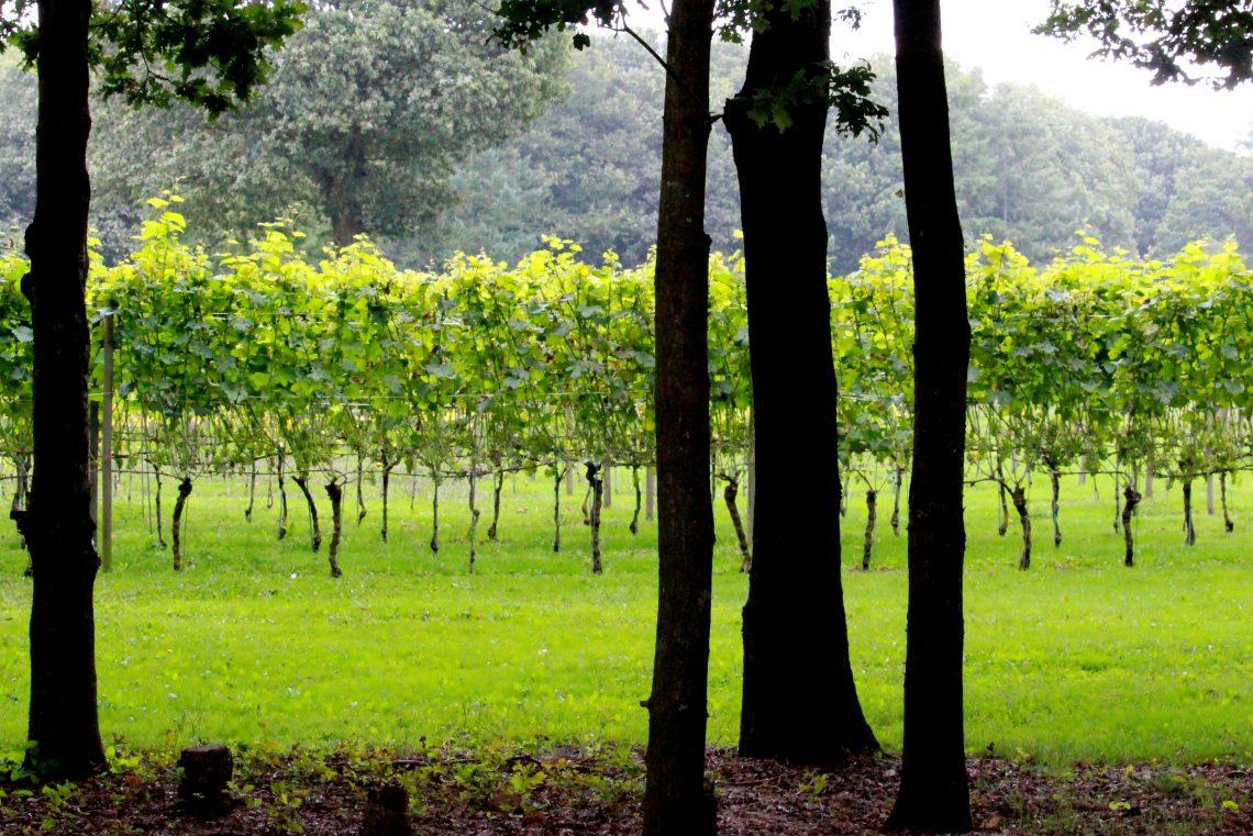 Wijngaard Zonnestraal