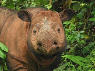 Extinct Sumatra Rhino
