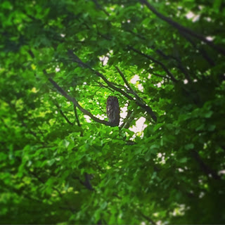 Owl in trees