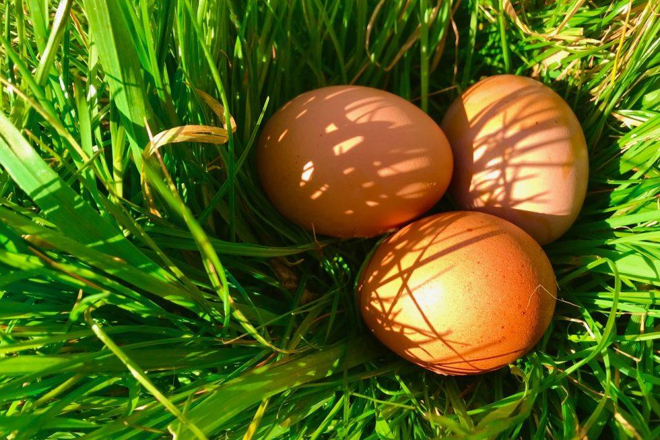 newly laid eggs