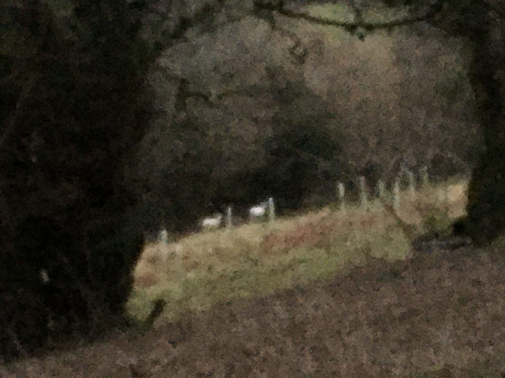 Blurry photo of two white deer on Lustleigh Cleave. Copyright Kate Hewett 2021