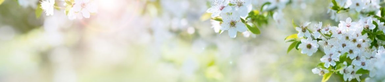 cropped-Kirschblüten-1.jpg