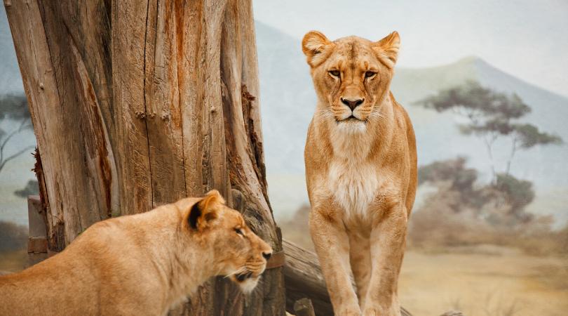 Två lejon vid ett träd, en sitter upp och tittar rakt mot betraktaren.