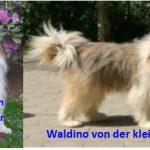 C-Wurf: Eltern; Oriane ( Bella ) vom Römerlager und Waldino von der kleinen Oase