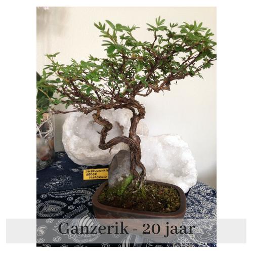 afb bonsai Ganzerik
