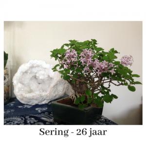 Bonsai Sering - prive Javie