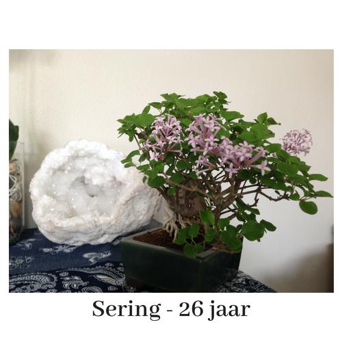afb bonsai Sering
