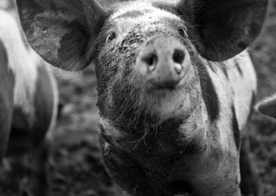 08-frilandsgris-dyrevelfaerd-olesgaard-reportagefoto-annaoverholdt kopi
