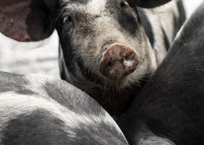 10-grise-frilandsgrise-dyrevelfaerd-olesgaard-reportagefoto-annaoverholdt kopi