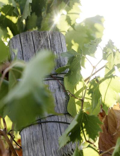32-vindruer-vinhoest-italien-reportagebilleder-annaoverholdt kopi
