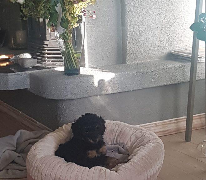 Ny valp i hus, prøver senga si for forste gang
