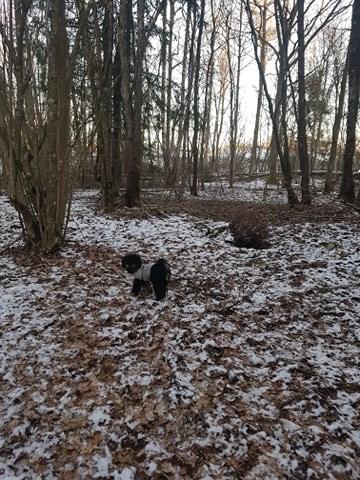 Dvergpuddelen Valborg i skogen på tur