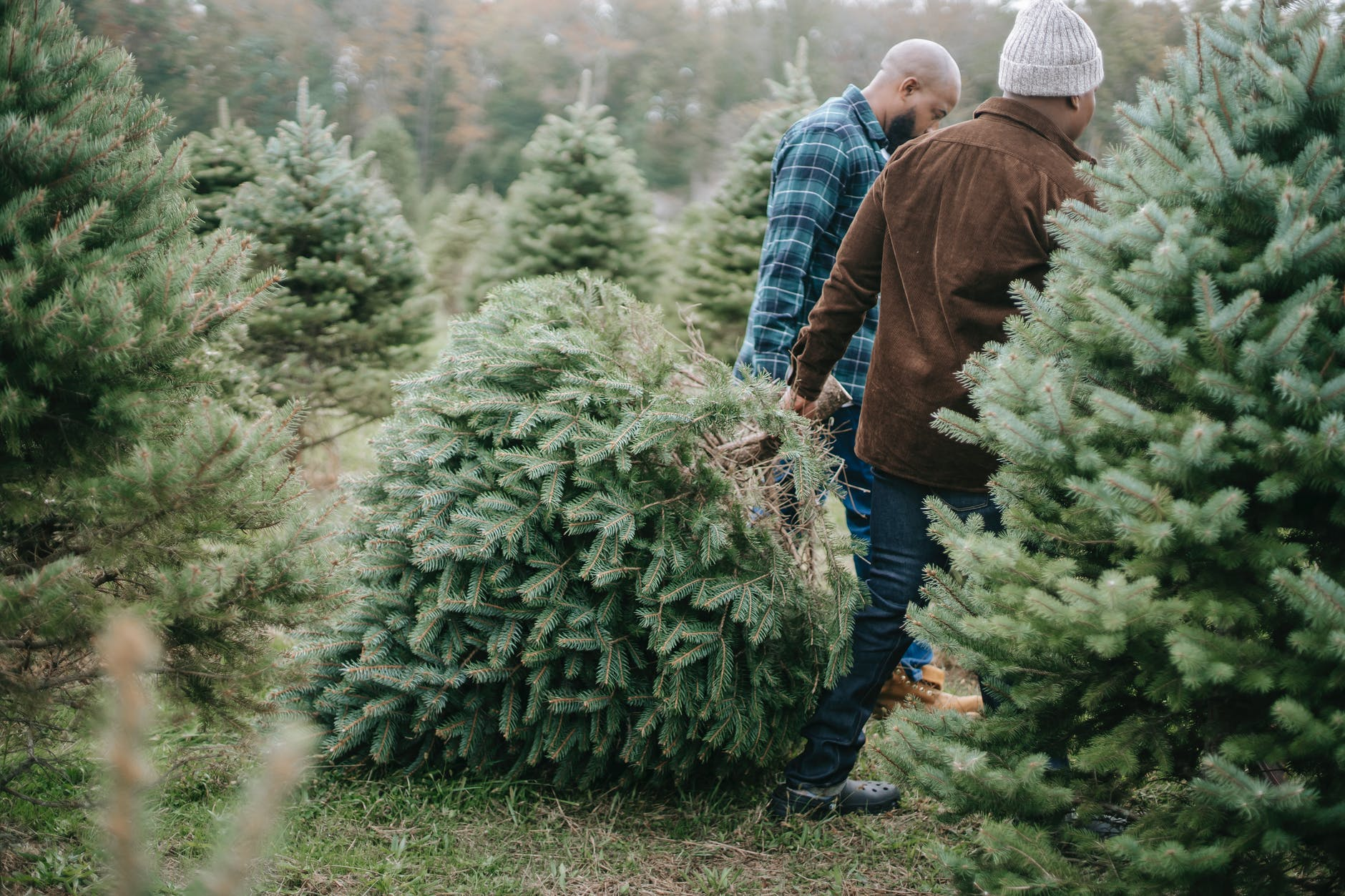 black father and son carrying lush evergreen tree for christmas