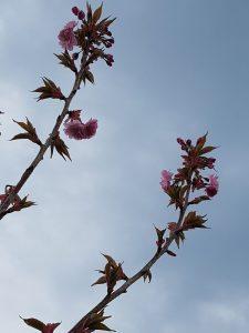 plant een geboorteboom: bloesems van de japanse kerselaar