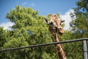 naar de dierentuin - giraf