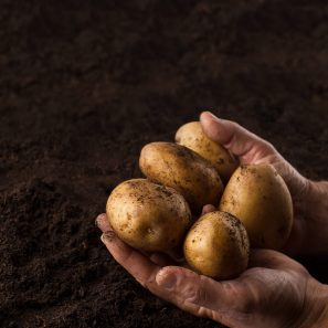 Top view of man hands holding freshly harvested potatoes above black soil
