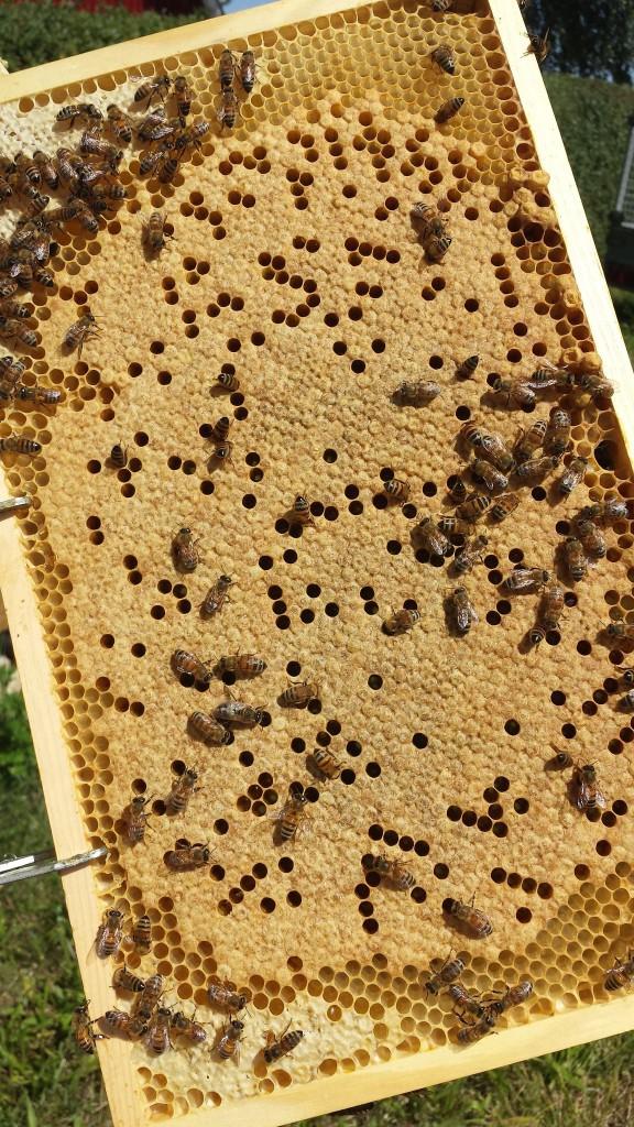 Så här på tidiga våren är samhällena i stark tillväxt. Drottningen går runt på kakorna i yngelrumslådan och lägger ägg hela tiden. Samhället ska på kort tid växa från ca 10 000 bin till upp emot 70-80 000.