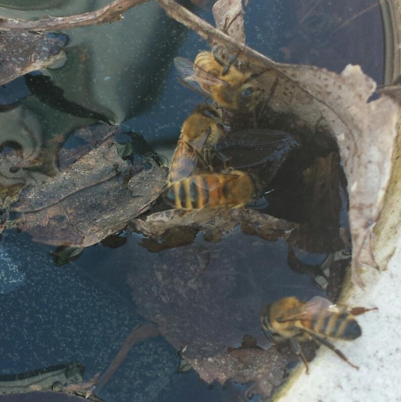 Vatten behöver bina nu till sina yngel och till det lilla fågelbadet har flera bin hittat och det lite smutsiga vattnet som verkar vara väldigt gott.