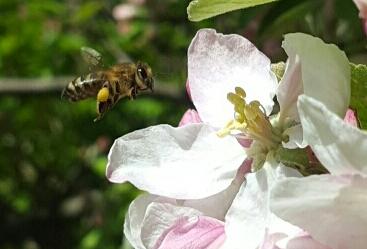 Äppelhonung ska förstås också vara en del av vårens ljusa, milda honung som samlas för fullt just nu. Men vi behöver värme för att det ska bli lite skörd för medan blommorna blommar så sitter bina inne i kupan när det regnar. Dessutom mumsar de på det dom redan samlat förstås.