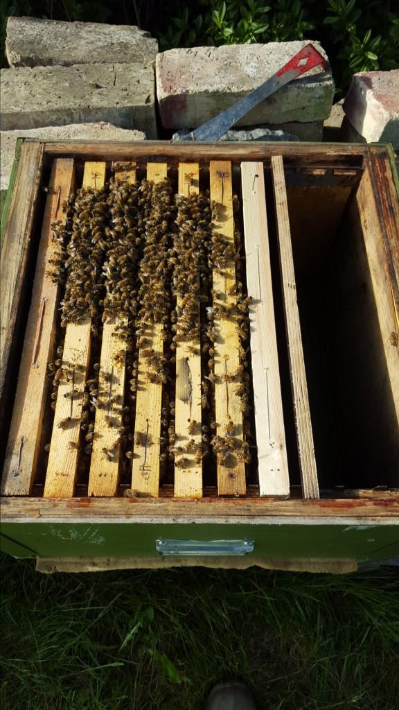 I ett av våra samhällen hade utbyggandet av vaxkakor och samlandet av nektar stannat av. När vi går ner i samhället så hör vi hör bidrottningen tutar. Det sägs att hon gör det för att diagnostisera om och var det finns potentiella rivaler. Om de svarar så söker hon upp dom och dödar dom. I samhället fanns det fyra nya viseceller, två rev vi och två stoppade vi ner i ett nytt litet samhälle, Förhoppningsvis drar bina fram en av dom som ny drottning.