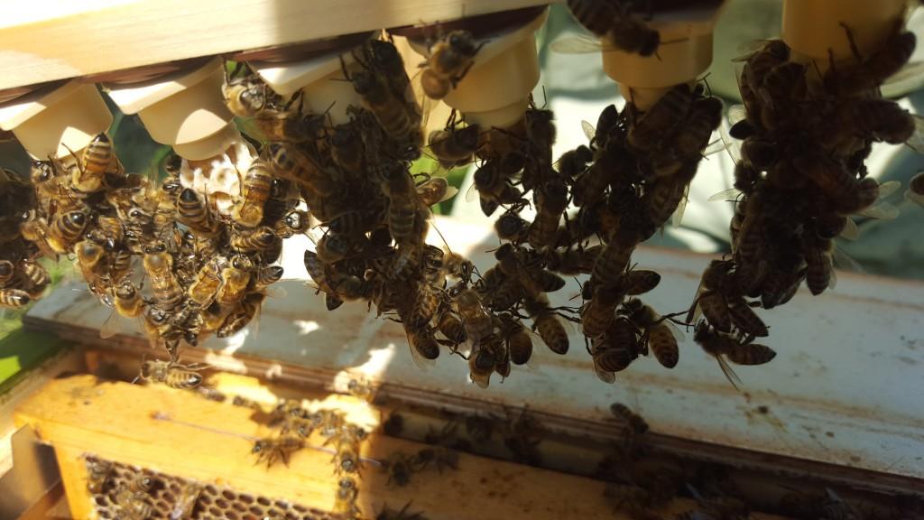 Eftersom några samhällen är lite svagare än andra så behöver vi odla fram nya drottningar för byte. Här har larver placerats i små koppar i ett yngelrum. Bina jobbar för fullt med att mata dom och bygga in dom i en vaxpuppa.