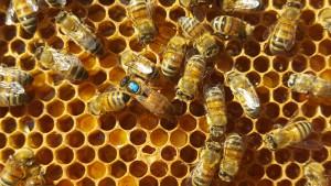 I avläggaren som vi gjorde så har bina själva dragit upp en drottning. Hon är den som är blåmärkt på bilden. Hon är liten och det beror på att hon ännu inte hunnit vara ute och para sig. Efter en bra aprning så växer hennes bakkropp till och hennes enda uppgift resten av livet blir att lägga ägg för samhällets överlevnad.