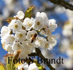 Körsbärsblommen älskas inte bara av människor utan också av bina som surrar frenestiskt den korta stund blommorna finns.