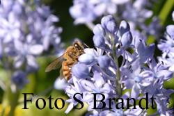 Pärlhyacinter och andra ännu tidigare vårlökar är också viktiga för binas överlevnad tidigt på våren.