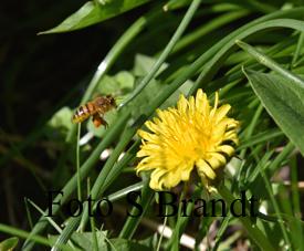 Fullastad med pollen så flyger biet vidare för att samla ännu mer pollen innnan det är dags att återvända till kupan.