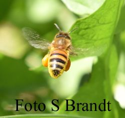Pollenkorgarna väger tungt och man kan ibland se när bina landar på flustret att de har lite svårt att fullt ut kontrollera landningen och balansen.