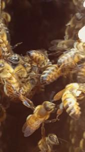 """En närbild på hur det ser ut när bina håller varandra i """"händerna"""" när de hänger i kedjor."""