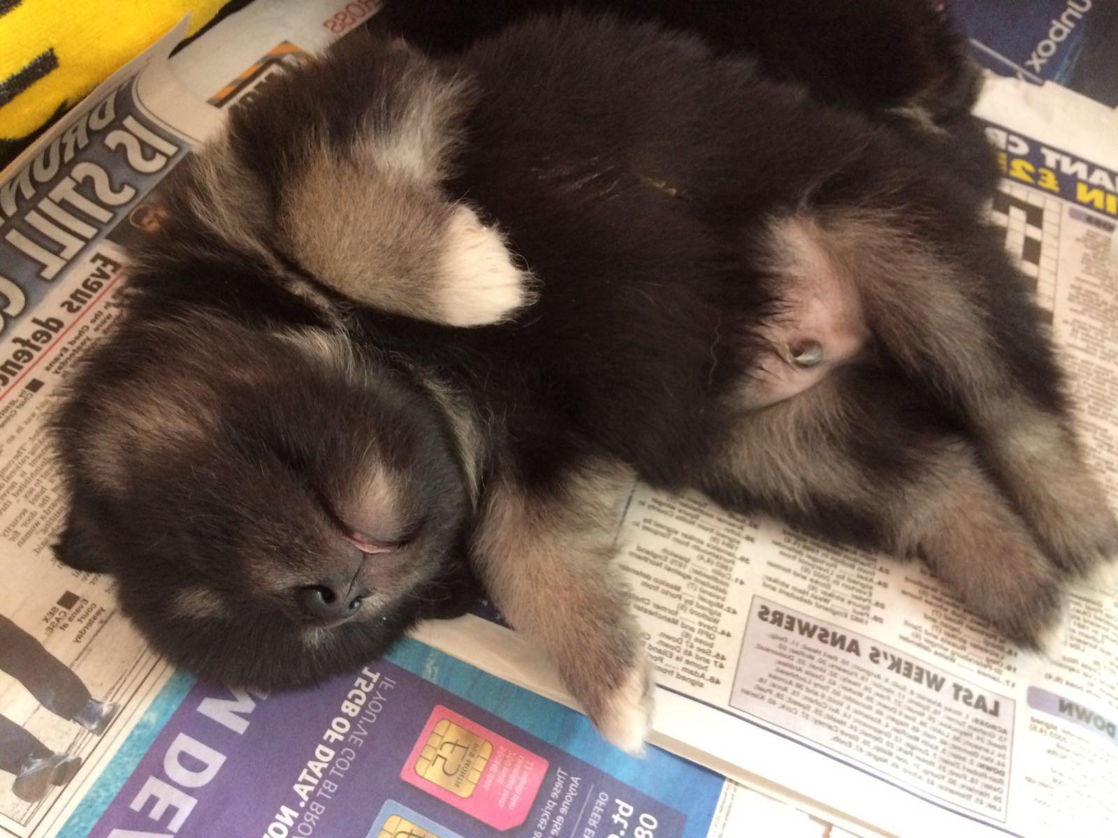 weaning finnish lapphund puppies