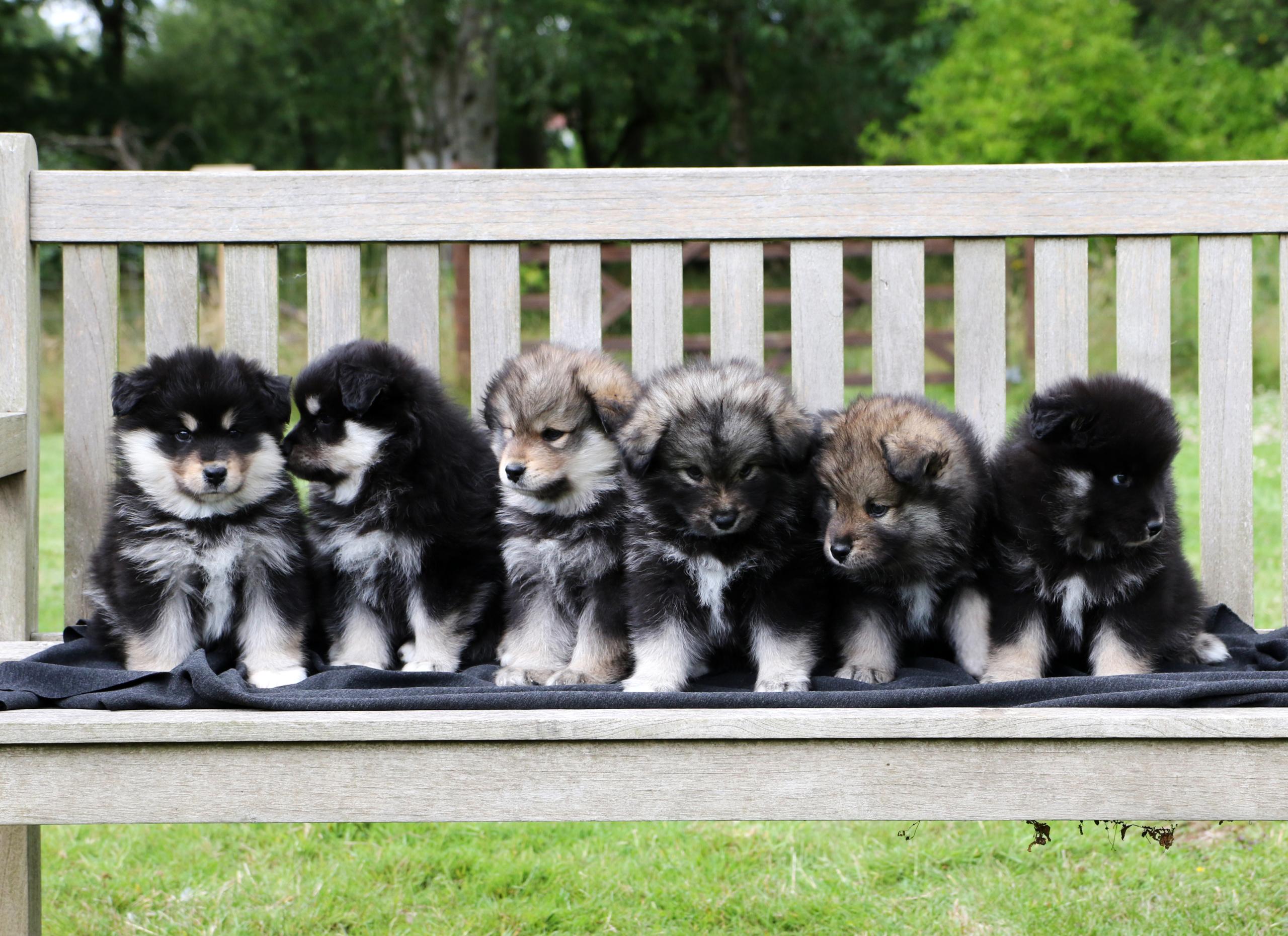 elbereth puppies