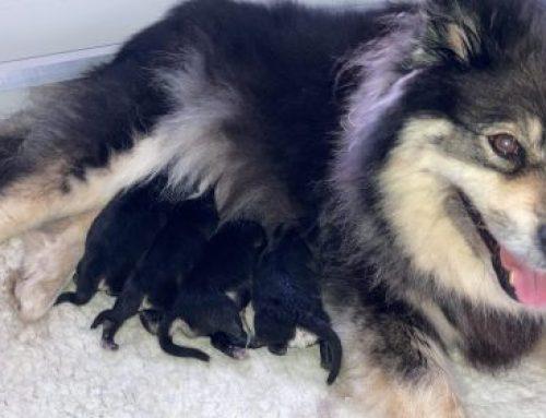 Viima & Peli Puppies