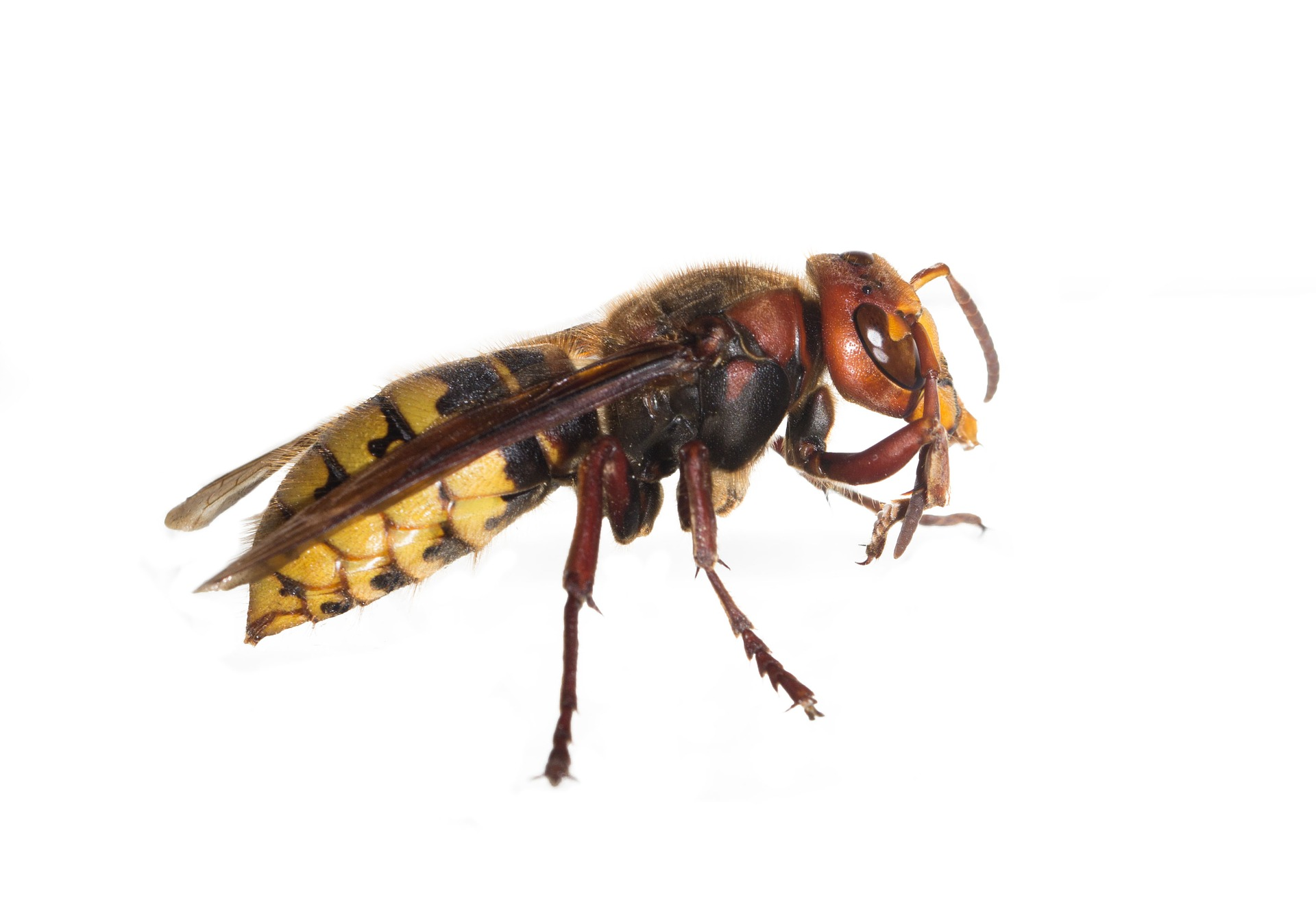 Fjernelse af Hvepse