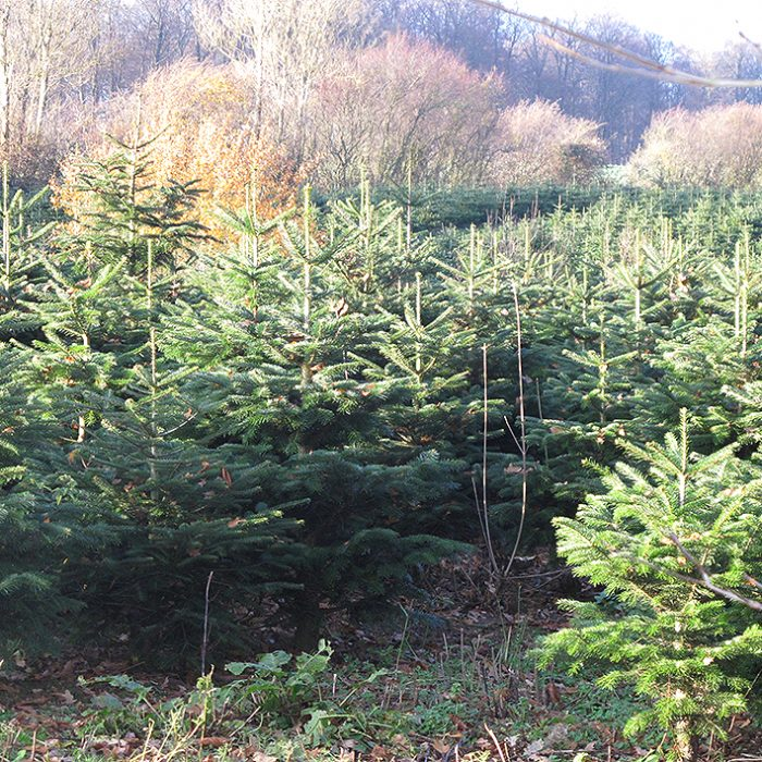 Granskov grantræer juletræ plantage christmas christmas trees jul