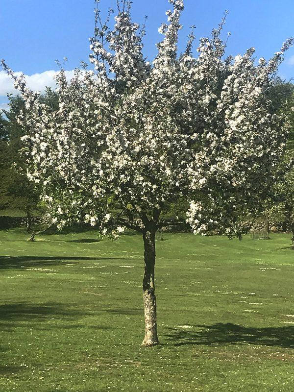 æbletræ, blomster, flowers, appletree