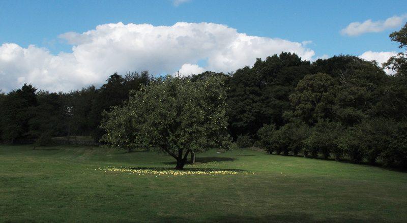 nedfaldsæbler, apples, yellow
