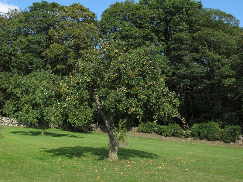 æbler, apples, tree, æbletræ