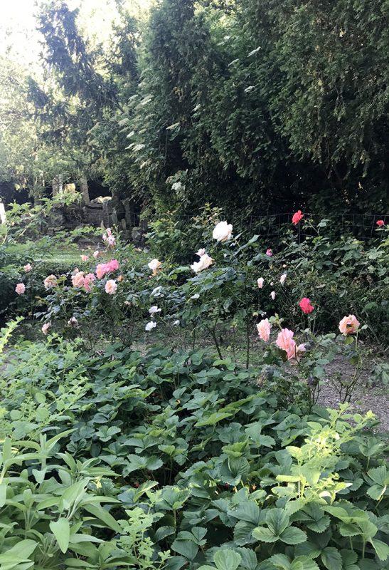roser, roses, rosenhave, garden