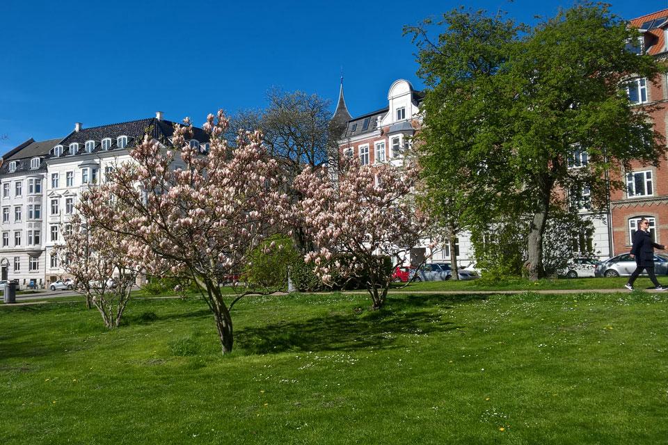 Магнолии в Дании. Магнолии Суланжа в городском парке