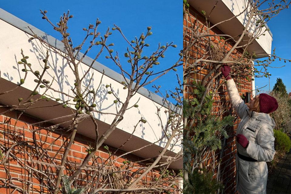 Инжир в моем саду. Hа моем инжире скворец построил гнездо.