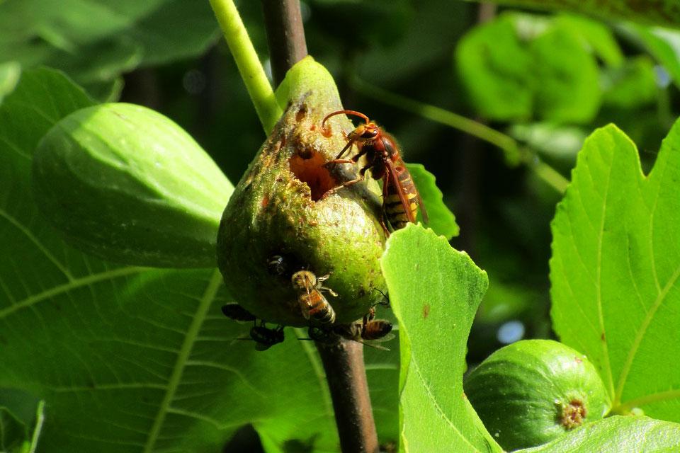 Спелые плоды инжира часто повреждаются пчелами и осами, которые очень любят полакомиться сладкими плодами.