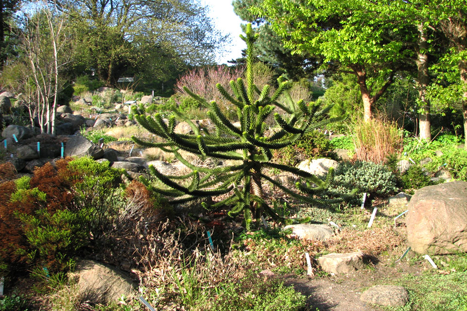 Араукария (Araucaria chilensis). Ботанический сад Орхус
