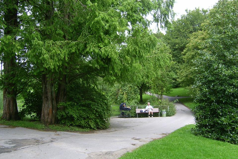 Метасеквойя лат. Metasequoia, Ботанический сад Орхус